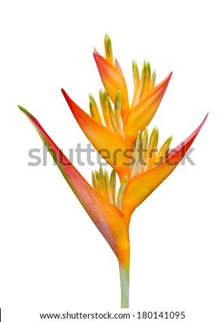 Bird of Paradise Flower isolated on  White Background - stock photo