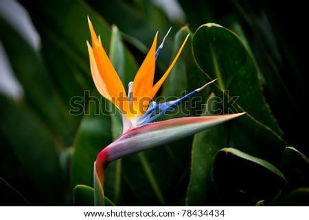 bird of paradise flower on green background - stock photo