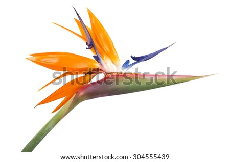 Bird of Paradise Flower on White Background  - stock photo