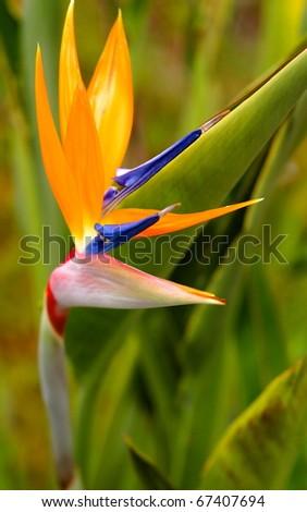 Bird of Paradise Flower San Diego, California - stock photo