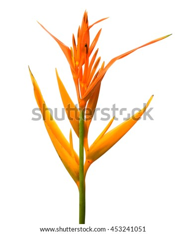 Bird of paradise flower (Strelitzia reginae) isolated on white background - stock photo