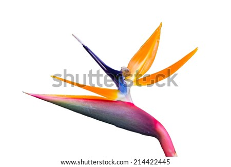 Bird of Paradise Flower with snail on white background - stock photo