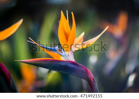 Bird of paradise flower with soft background