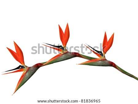 bird of paradise flowers arching on a white background - stock photo