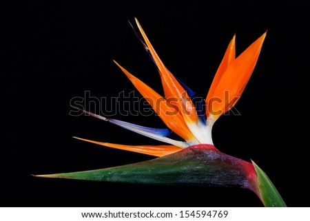 Bird of Paradise Flowers Isolated on a black Background  - stock photo