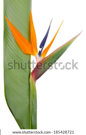 Bird of Paradise Flowers Isolated on a White Background - stock photo