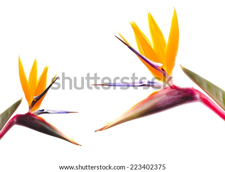Bird of Paradise Flowers on a White Background, Isolated - stock photo