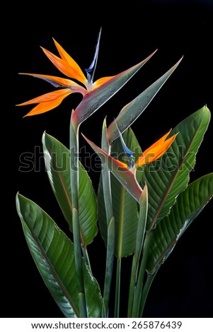 Bird of paradise flowers with one flower un-open isolate on black - stock photo