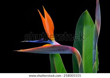 Bird of paradise isolated on black - stock photo