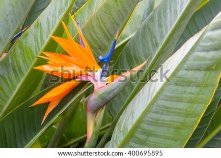 Bird of Paradise Tropical Flower - stock photo