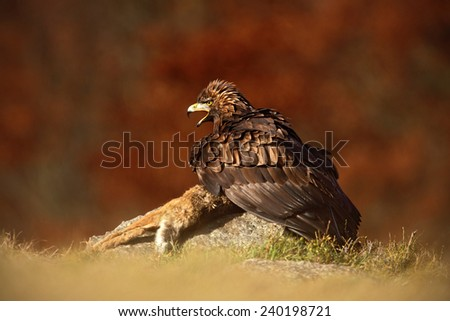 Bird of prey Golden Eagle (Aquila chrysaetos) with kill red fox on stone -  photo with nice blurred orange autumn forest in the background  - stock photo
