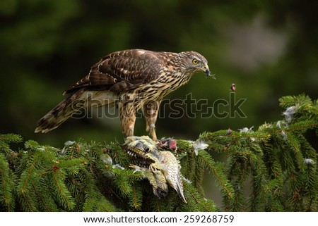 Bird of prey Goshawk, Accipiter gentilis, feeding Green Grey-headed Woodpecker sitting on the spruce tree in the forest - stock photo