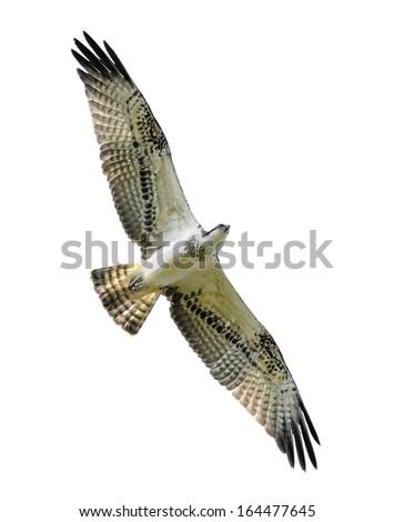 Bird of prey in flight (Osprey) isolated on white. - stock photo