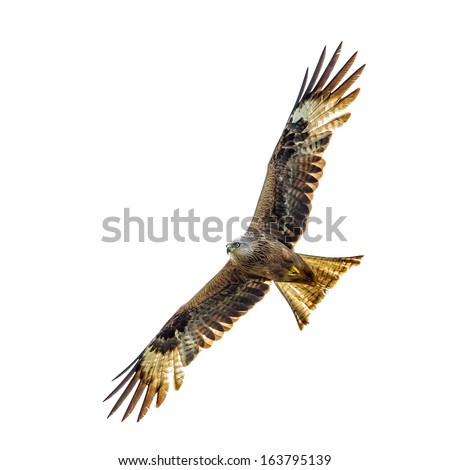 Bird of prey isolated on white. - stock photo