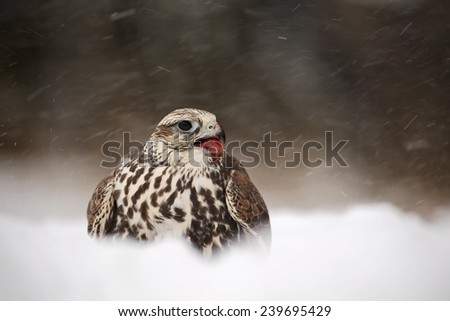 Bird of prey Lanner Falcon with snowflake in cold winter - stock photo