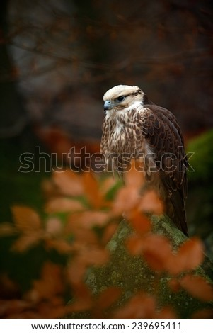 Bird of prey Lanner Falcon with snowflake with orange branch in the autumn forest - stock photo