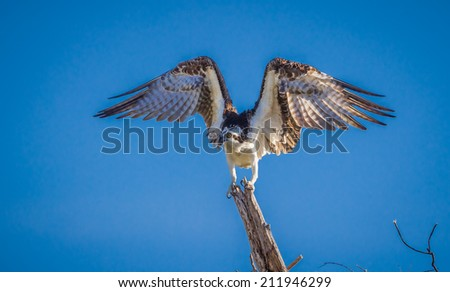 Bird of Prey, Osprey begins flight - stock photo