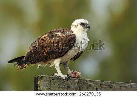 Bird of prey Osprey, Pandion haliaetus, feeding catch fish, Belize - stock photo