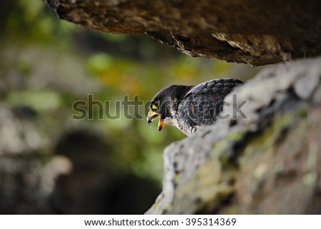 Bird of prey Peregrine Falcon sitting on the stone in the rock, detail portrait in the nature habitat, Germany - stock photo
