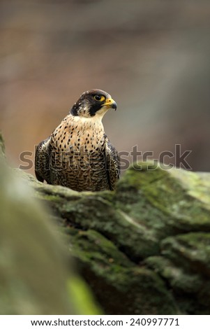 Bird of prey Peregrine Falcon sitting on the stone with grey rock background  - stock photo
