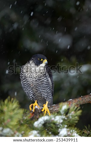 Bird of prey Peregrine Falcon with fly snow sitting on the tree with dark green forest in background - stock photo