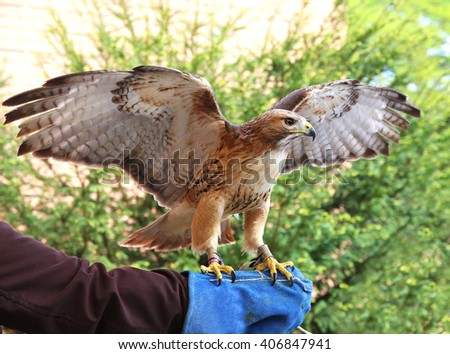 Bird of prey red-tailed hawk known in the United States as chickenhawk - stock photo