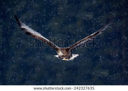 Bird of prey White-tailed Eagle, Haliaeetus albicilla, flying with snow flake, dark forest in background - stock photo