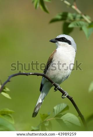 bird on a branch. Shrike - stock photo