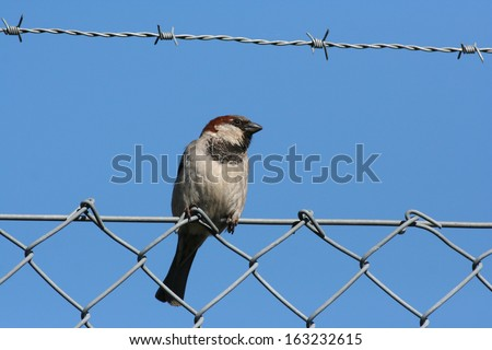 Bird on wire. Domestic sparrow on a clear blue sky, standing on wire mesh fence with barb wire above. - stock photo
