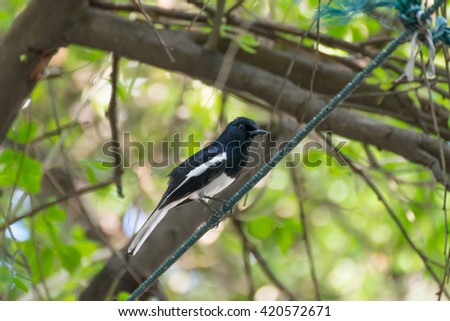 Bird (Oriental magpie robin) perched on a tree in the garden - stock photo