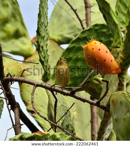 Bird phylloscopus looking and waiting to eat fresh prickly pear - stock photo