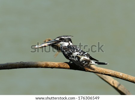 Bird Pied kingfisher with fish in beak (Pied Kingfisher) on a branch  - stock photo