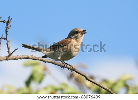 Bird (red-backed shrike) sitting on a branch - stock photo