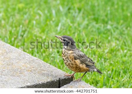 Bird-Robin fledgling - stock photo
