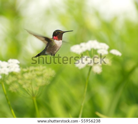 Bird, ruby throat hummingbird, male,  in motion surrounded by flowers showing his brilliant red throat. - stock photo