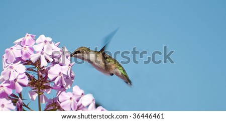 Bird. Ruby throated hummingbird, female,  collecting nectar from purple phlox flowers in early September.