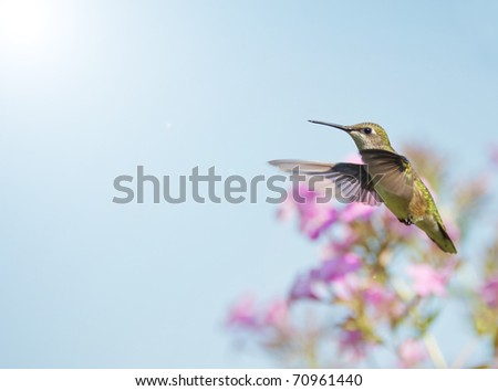 Bird, Ruby throated hummingbird , female, in motion in the garden in the sunshine in summer.