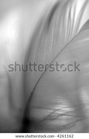 Bird's feather detail. Black and white. Shallow DOF. - stock photo