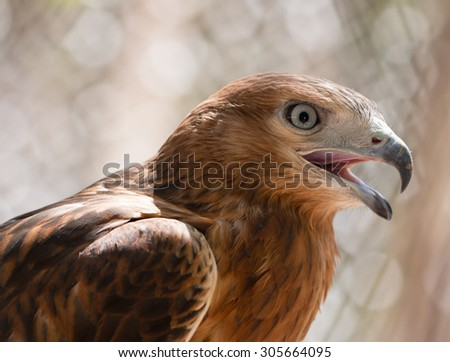 bird's head hawk - stock photo