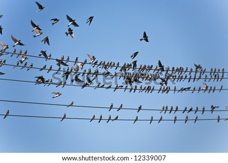 bird series: flock of martin bird on wires