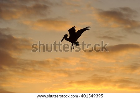 Bird silhouette is a Pelican spreading its wings at sunset against an orange cloud filled sky.