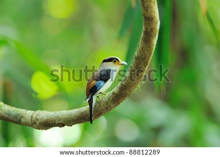bird { Silver-breasted Broadbill } thailand