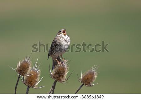 bird singing Corn Bunting / Emberiza calandra - stock photo