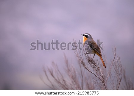 Bird sitting alone on a a branch with a out of focus background in winter.   - stock photo
