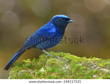 Bird (Small Niltava) , Thailand - stock photo