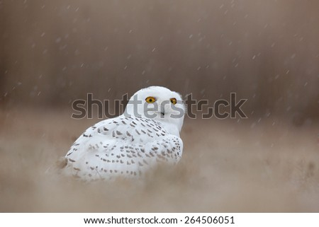 Bird snowy owl with yellow eyes sitting in grass, scene with clear foreground and background  - stock photo
