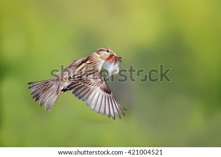 bird Sparrow is flying with a feather in its beak in the spring - stock photo