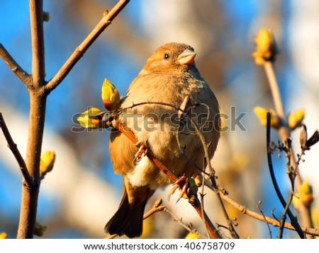 bird sparrow on a tree branch against the blue sky - stock photo