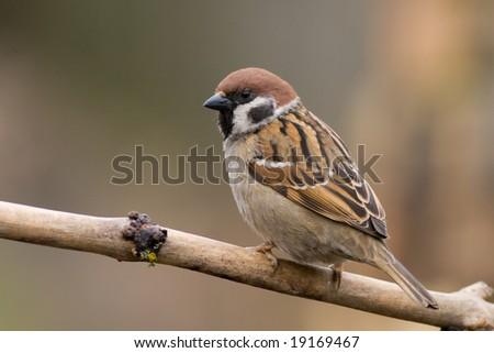 bird - tree sparrow - stock photo