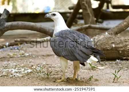 Bird,White-bellied Sea-eagle, White-bellied Fish-eagle, White-breasted Sea Eagle (Haliaeetus leucogaster) - stock photo